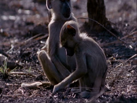 ms pair of baboons play fighting and foraging, tanzania - foraging stock videos and b-roll footage