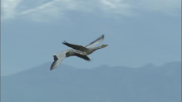 Pair of bar headed geese land at nest site, Bayanbulak grasslands.
