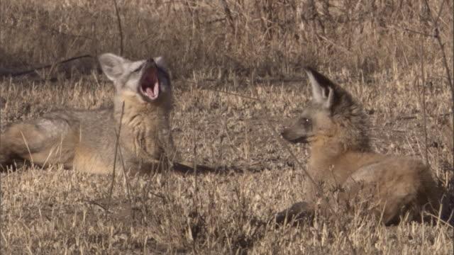 stockvideo's en b-roll-footage met pair of bat eared foxes look around on savannah, one yawns. available in hd. - gezichtsuitdrukking