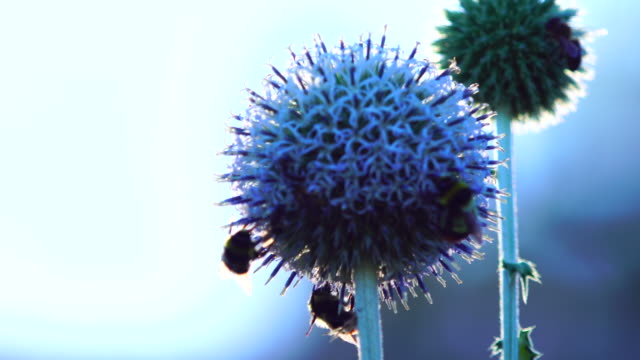 pair of bees pollinating a blue globe-thistle - thistle stock videos & royalty-free footage