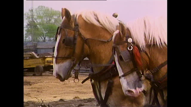 Pair of Belgian Draft horses working in a field; USA, 1972