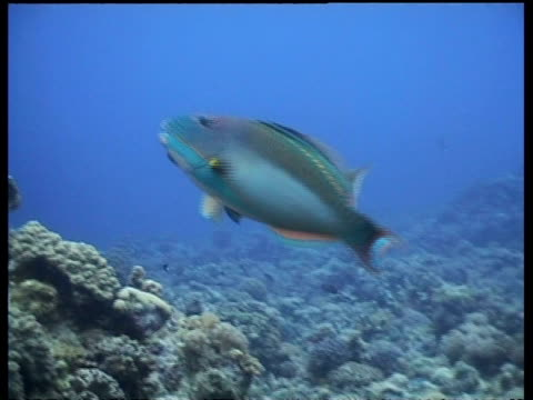 ms pair of bicolour parrotfish swimming together during courtship, malaysia - love emotion stock videos and b-roll footage