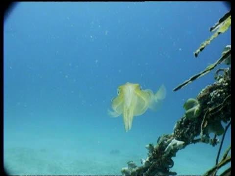 cu pair of bigfin reef squid swimming amongst sunken palm, mabul, borneo, malaysia - ダイビング用のフィン点の映像素材/bロール
