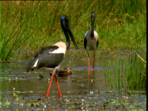 "vidéos et rushes de pair of black necked storks wade in marsh, lakefield national park, queensland - ""bbc natural history"""