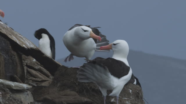 ms pair of blackbrowed albatross display on nest - small group of animals stock videos & royalty-free footage