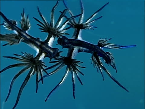 pair of blue ocean slugs mate in sea - ermafrodita video stock e b–roll