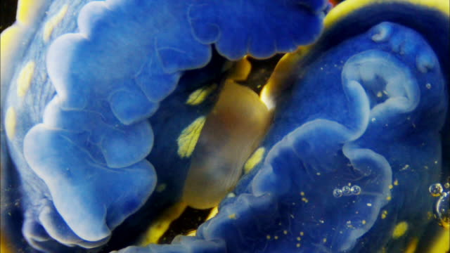 vídeos de stock e filmes b-roll de a pair of blue sea slugs exchanging gene through reproductive organs on the sides, tidepool of seogwipo, jeju island, south korea - hermafrodita