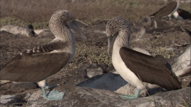 a pair of blue-footed boobies bill fence each other. available in hd. - ガラパゴス諸島点の映像素材/bロール