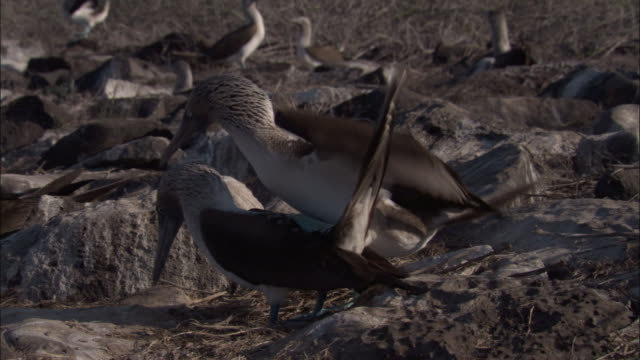 a pair of blue-footed boobies mates in colony. available in hd. - ガラパゴス諸島点の映像素材/bロール