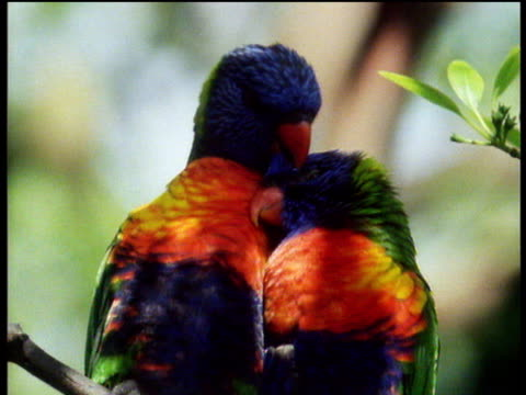 Pair of brightly coloured parrots perch on branch, one parrot scratches the others head.