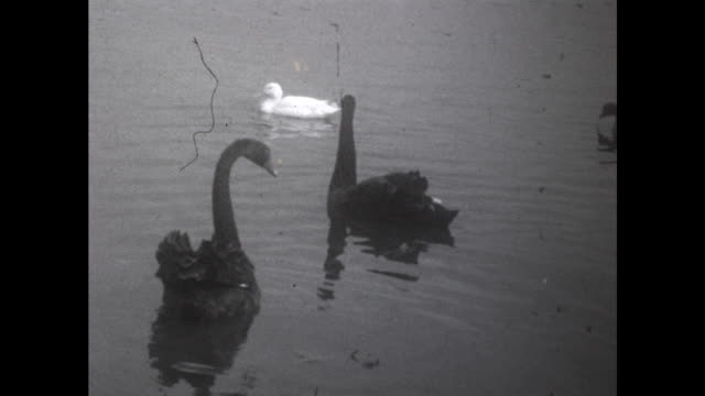 pair of brown swans swimming in the water ducks also swimming in the background - aquatic organism stock videos & royalty-free footage