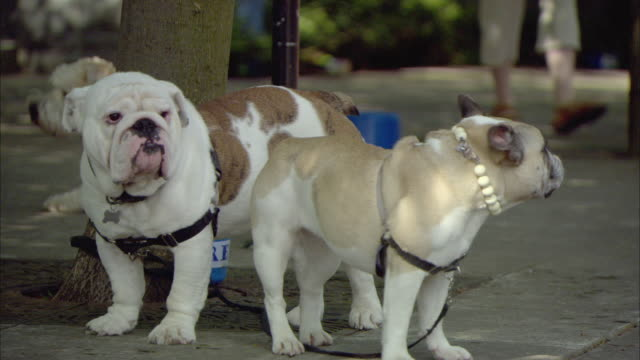 MS Pair of bulldogs standing by tree and looking around / Lake Oswego, Oregon, USA