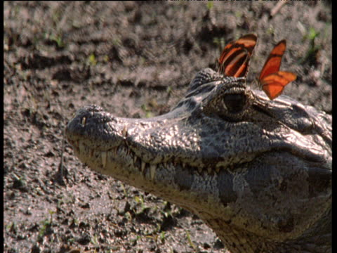 pair of butterflies pester spectacled caiman as it basks - blinking stock videos & royalty-free footage