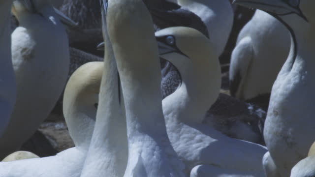 CU pair of Cape Gannets in huge colony courting with headshakes and skypointing
