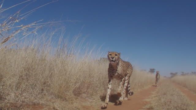 a pair of cheetahs runs along a dirt track. available in hd. - cheetah stock videos and b-roll footage