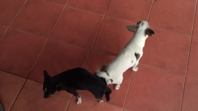 pair of chihuahua dog mating - penis stock videos & royalty-free footage