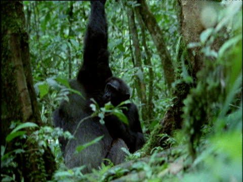 pair of chimps groom whilst clasping hands in the air, uganda - couple relationship stock videos & royalty-free footage