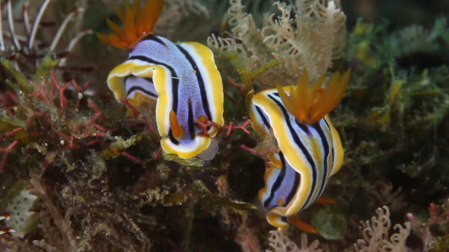 pair of chromodoris elisabethina nudibranch's rest on the reef- close up - nudibranch stock videos & royalty-free footage