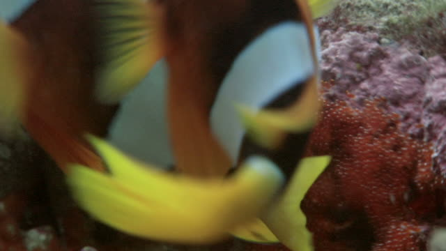 stockvideo's en b-roll-footage met pair of clark's anemone fish (amphiprion clarkii) spawning. first the larger female deposits her eggs, then the male fertilizes them. when the spawning has ceased the anemone will expand and conceal the eggs - clownvis