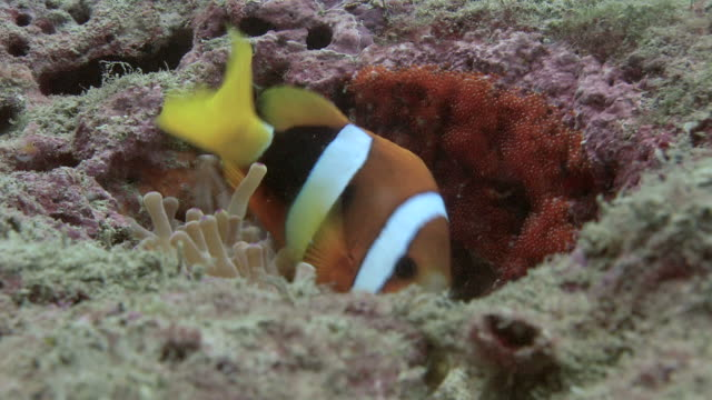 Pair of Clark's anemone fish (Amphiprion clarkii) spawning. First the larger female deposits her eggs, then the male fertilizes them. When the spawning has ceased the anemone will expand and conceal the eggs