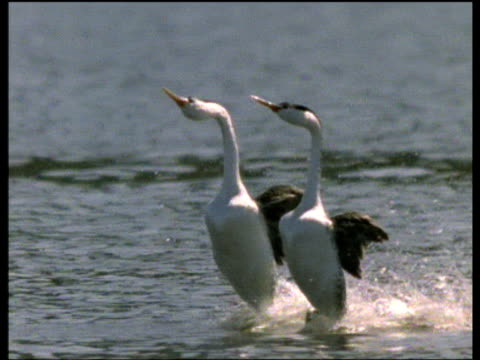 pair of clark's grebes run together on water during courtship display, usa - bbc stock videos and b-roll footage