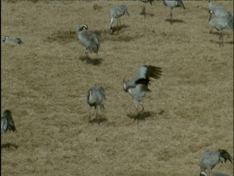 Pair of cranes display and dance in field
