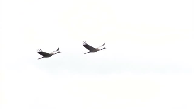 pair of cranes - two animals stock videos & royalty-free footage