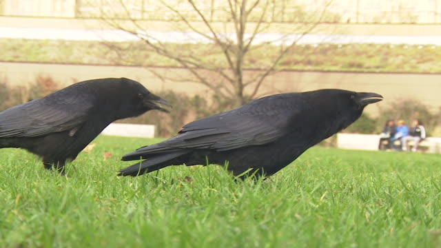 a pair of crows squawking on the lawn of the houses of parliament before flying away - close up stock videos & royalty-free footage