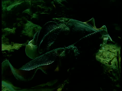 pair of cuttlefish display to each other, shark bay, western australia - mollusc stock videos & royalty-free footage