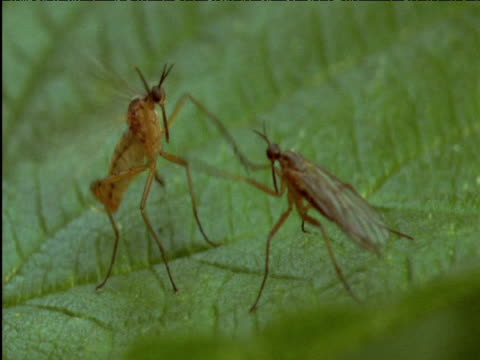 pair of dance flies display to each other on leaf - bristle animal part stock videos and b-roll footage