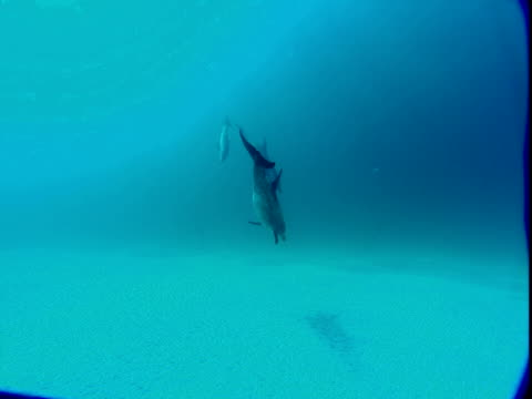 a pair of dolphins skims over the seabed as other dolphins dart to and fro. - other stock videos & royalty-free footage