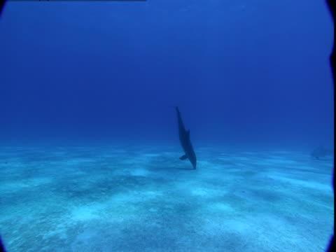 a pair of dolphins swim along the ocean floor. - cetacea stock videos & royalty-free footage