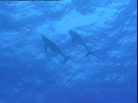 a pair of dolphins swim near the surface of the ocean. - cetacea stock videos & royalty-free footage