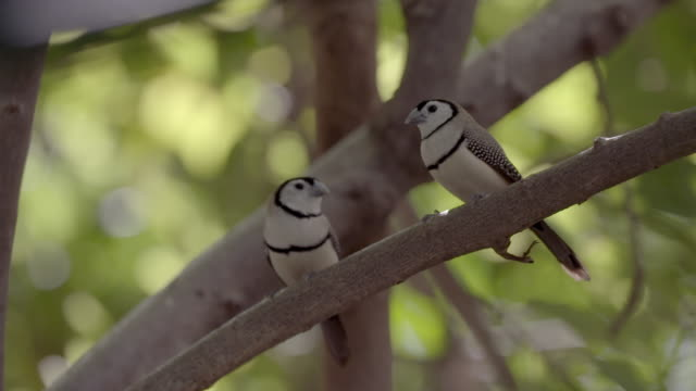 pair of double-barred finches perching on branch - perching stock videos & royalty-free footage