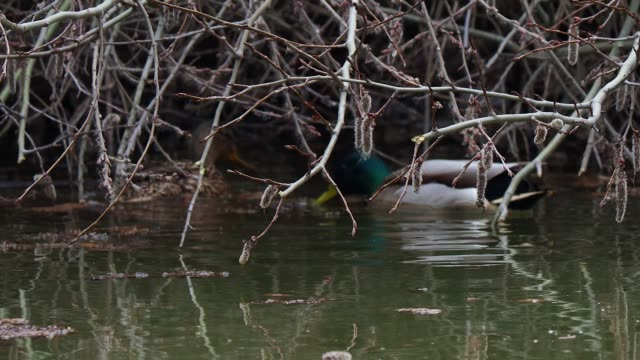 pair of ducks on the pond - hiding stock videos & royalty-free footage