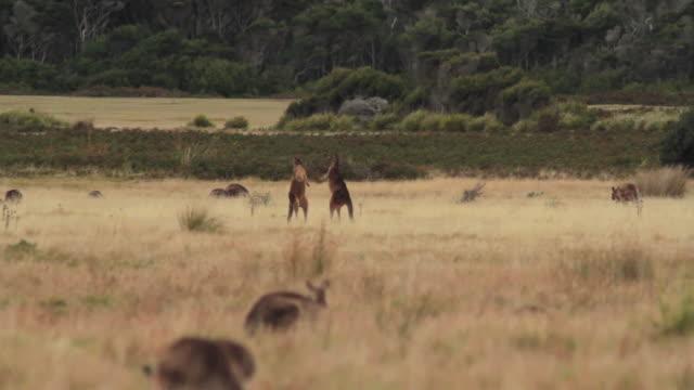 WS Pair of Eastern Grey Kangaroos (Forester Kangaroo) fighting, Macropus giganteus / Narawntapu National Park, Tasmania, Australia
