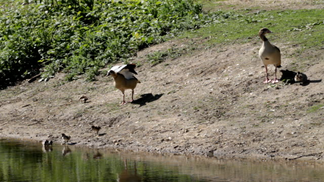 Four Egyptian goose goslings father chases butterfly HD video