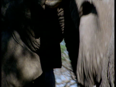 pair of elephants fight - tierische nase stock-videos und b-roll-filmmaterial