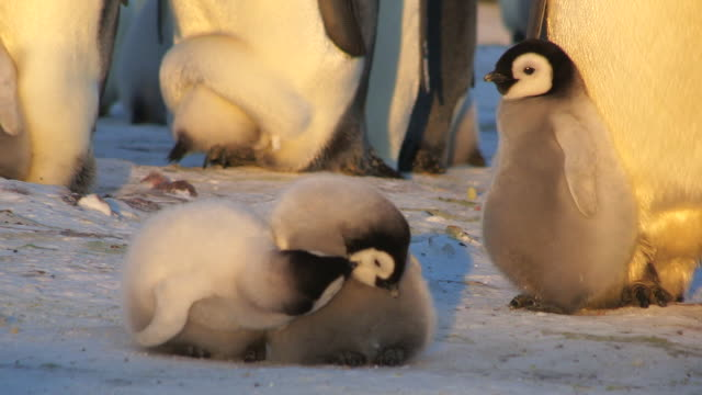 ms pair of emperor penguin chicks in evening sunlight preening each other and moving away / dumont d'urville station, adelie land, antarctica - other stock videos & royalty-free footage