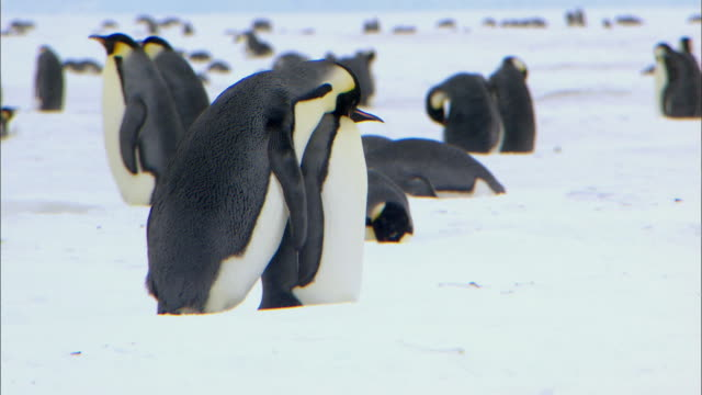 Pair of Emperor penguins courtship dancing