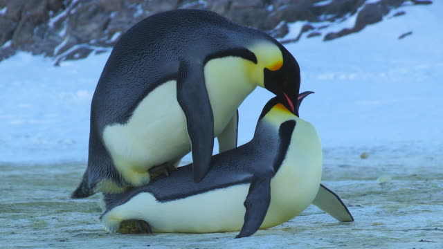 vídeos de stock, filmes e b-roll de cu pair of emperor penguins mating in open space on icy ground stop as other penguins interrupt / dumont d'urville station, adelie land, antarctica - acasalamento de animais