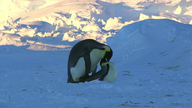 MS Pair of Emperor penguins mating in open space on snow with evening sunlight on snow / Dumont D'Urville Station, Adelie Land, Antarctica