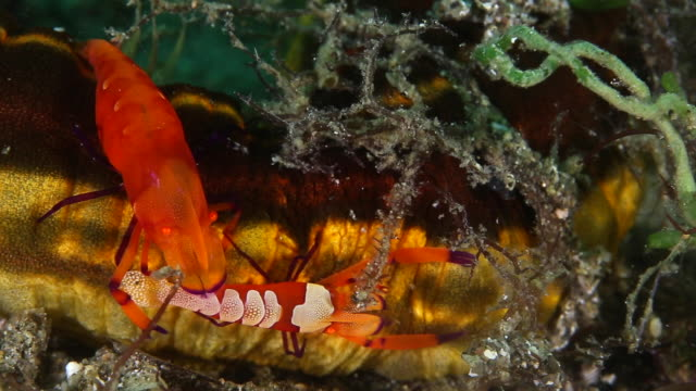 pair of emperor shrimp move along a sea cucumber - close up - batangas province stock videos and b-roll footage