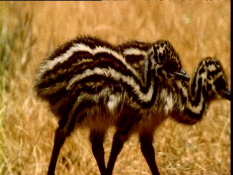 stockvideo's en b-roll-footage met pair of emu chicks wander through grass in heat haze, victoria, australia - vachtpatroon