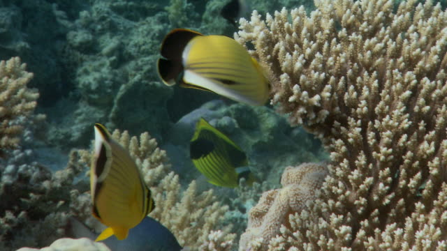 vídeos y material grabado en eventos de stock de pair of exquisite butterflyfish (chaetodon austriacus) feeding on acropora polyps. filmed in the gulf of aden, red sea - cnidario