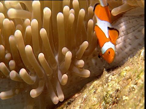 vídeos y material grabado en eventos de stock de pair of false clown anemone fish emerge from anemone host, female larger, sulawesi - simbiosis