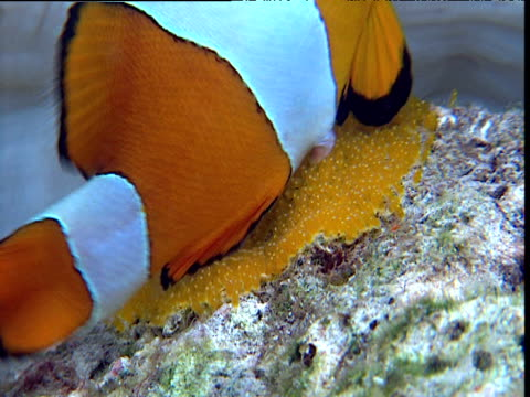 Pair of false clown anemone fish lay eggs on rock, Sulawesi