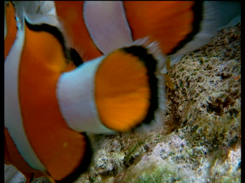 pair of false clown anemone fish lay sticky eggs onto rock - sticky stock videos and b-roll footage