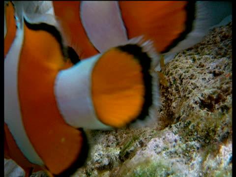 vidéos et rushes de pair of false clown anemone fish lay sticky eggs onto rock - poisson clown à trois bandes