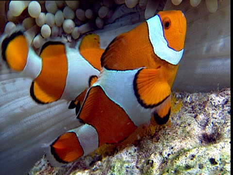 pair of false clown anemone fish spawn next to anemone host, female larger, sulawesi - pair stock videos and b-roll footage